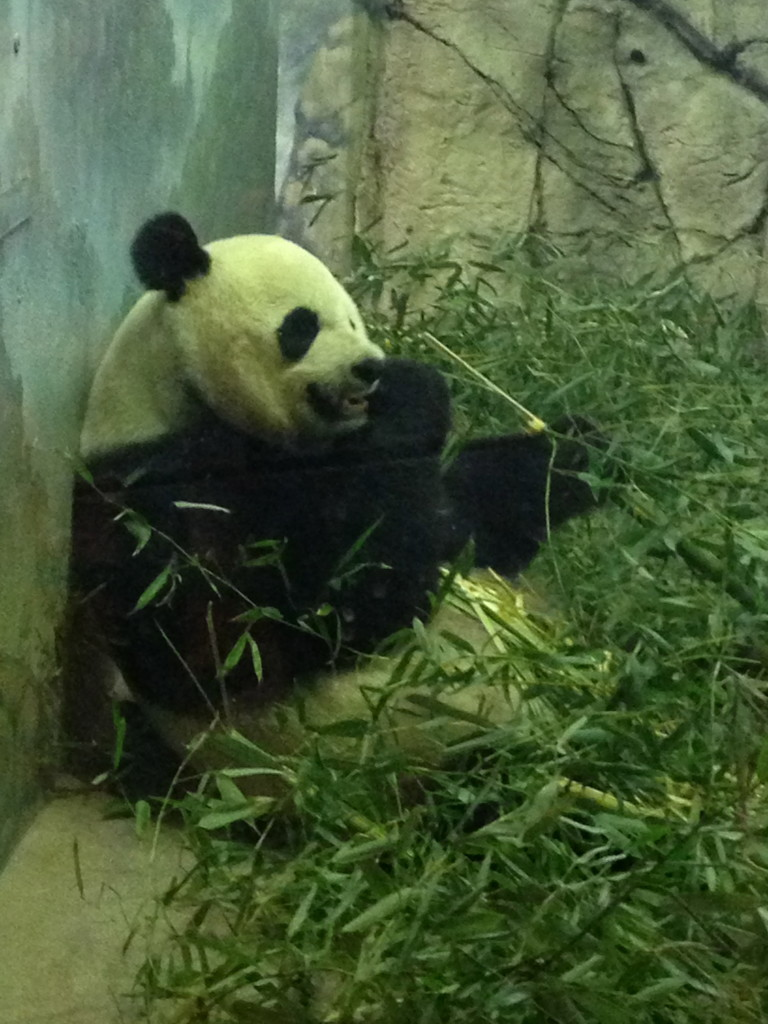 National Zoo Panda